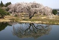 『花園しだれ桜1』の画像
