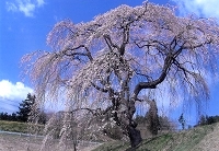 花園しだれ桜3