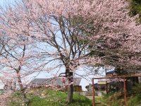 伊野地蔵の桜01