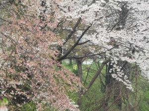『1城跡北 桜 アップ 0418』の画像