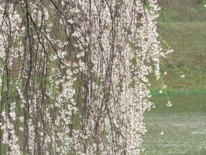 『2城跡南 桜 アップ 0418』の画像