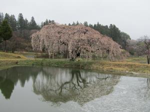 『3花園 桜 0418』の画像