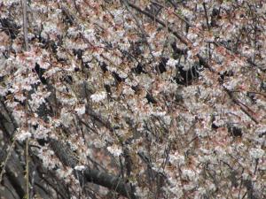 『3花園 桜 アップ 0418』の画像