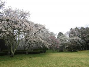 『4赤館 桜 0418』の画像