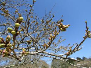 『4赤館 桜 アップ 0418』の画像