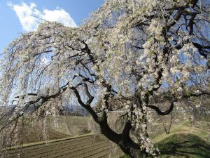 『花園しだれ(アップ)4月9日』の画像