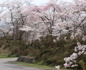 棚倉城跡の土塁と桜
